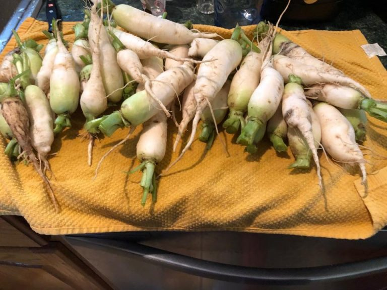 Harvested Icicle Radishes